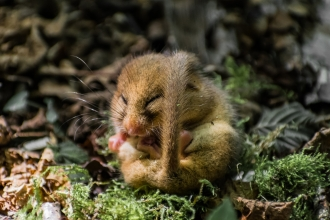 Torpid dormouse