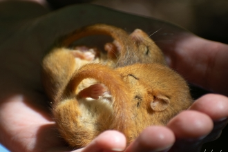 Two torpor dormice in hand