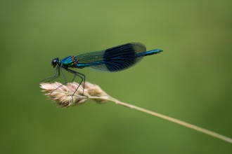 Banded demoiselle © Chris Button
