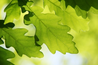 Oak Leaves © Jim Higham