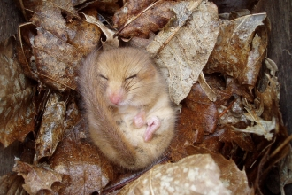 Sleeping Dormouse, ©Andy Rothwell,