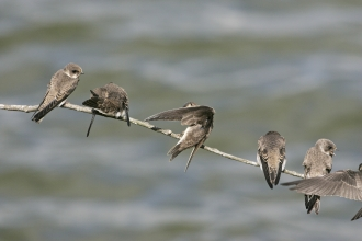 Sand martins © Mike Read www.mikeread.co.uk