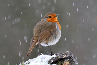 Robin in the Snow, by Tim Withall