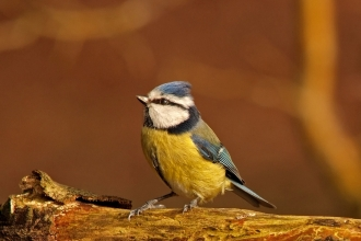 Blue Tit Perched on Log, Blashford Lakes, ©Ian Cameron-Reid
