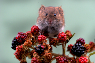 Bank vole on berries