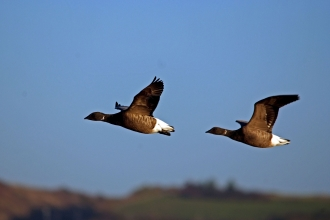 Two Dark-bellied Brent geese captured mid-flight