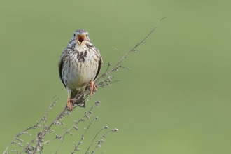 Corn Bunting (Miliaria calandra) perched on dry stems singing