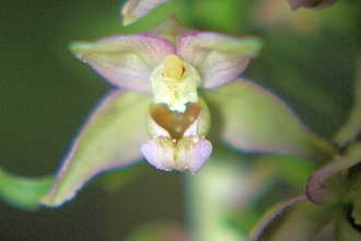 close up of broad-leaved helleborine