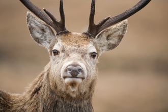portrait of stag on open moorland in winter