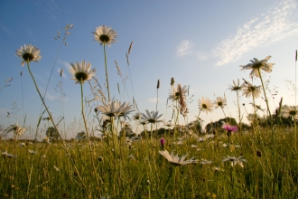 Ox Eye Daisies in a Meadow, ©David Kilbey, 24/06/06