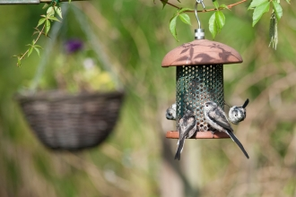 Long tailed tits at bird feeder