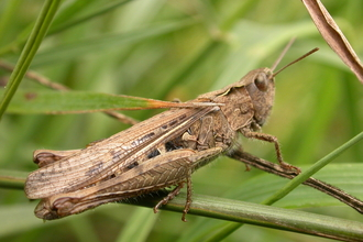 Field grasshopper © Philip Precey