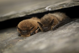 Common pipistrelle bat © Tom Marshall
