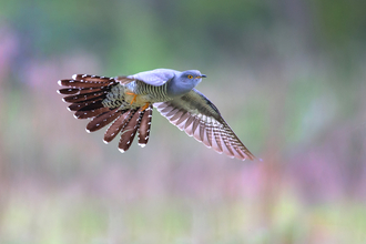 Cuckoo in flight (c) Jon Hawkins Surrey Hills Photography