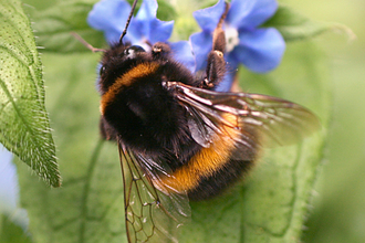 Buff-tailed bumblebee on flower