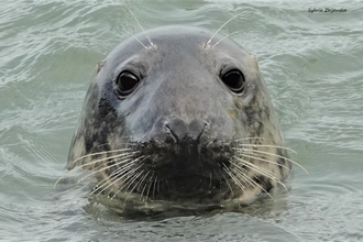 Curious adult female grey seal