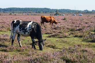 New Forest cattle and holiday traffic