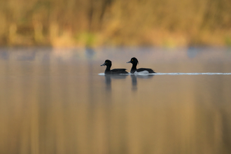 Tufted ducks for header (c) Jon Hawkins - Surrey Hills Photography