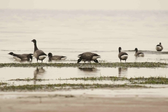 Brent Geese on Mudflat