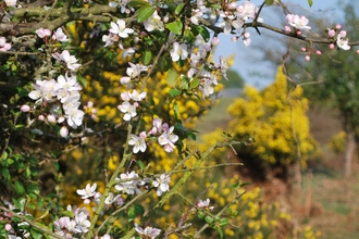 apple and gorse in flower on a heath