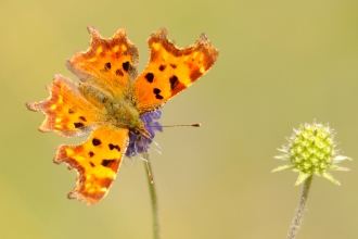 Comma Butterfly WildNet - ©Amy Lewis