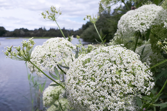 Greater water parsnip