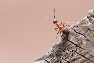 Wood Ant by Ross Hoddinot