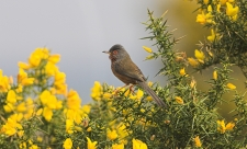Dartford warbler male Copyright Mike Read