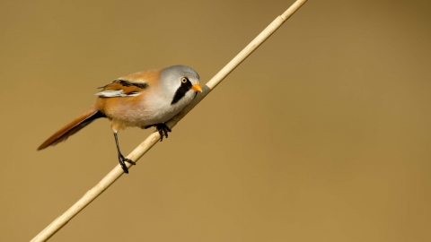 Bearded tit   Hampshire and Isle of Wight Wildlife Trust