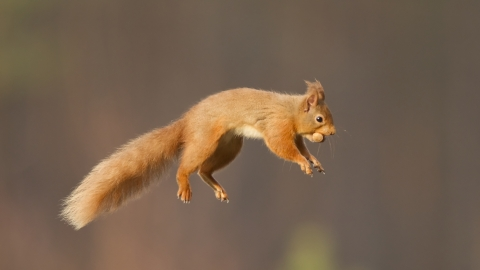 Red squirrel © Peter Cairns/2020VISION