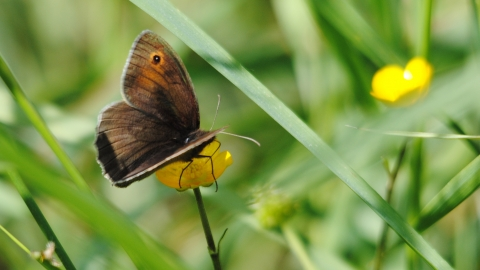 Meadow Brown © Amy Lewis