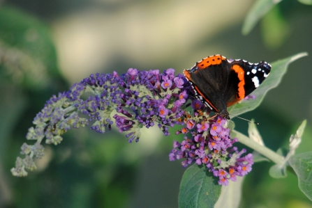 Red Admiral on Buddleia