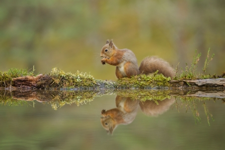 Red Squirrel © Mark Hamblin