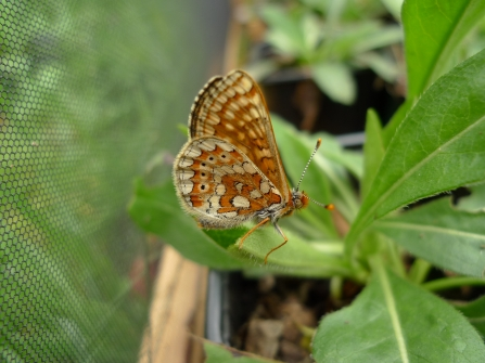 First marsh fritillary to emerge in May 2016
