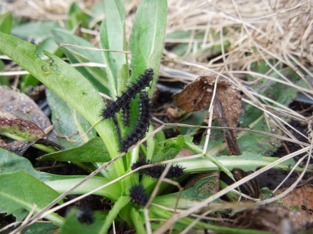 Marsh fritillary larvae feeding March 2017