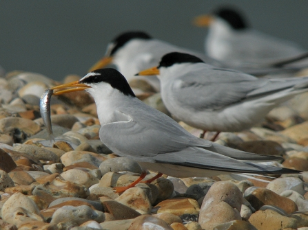 Little tern with fish