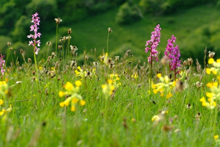 Early purple orchids and cowslips