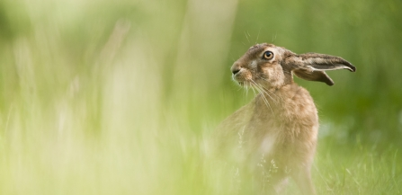 European hare feeding in a field