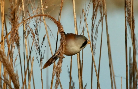 Bearded tit in the reeds at Farlington Marshes