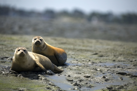 Common seals in Chichester Harbour