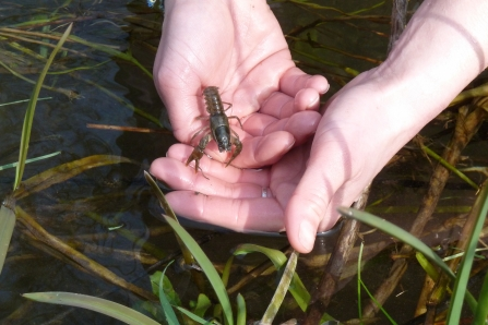 Release of juvenile crayfish