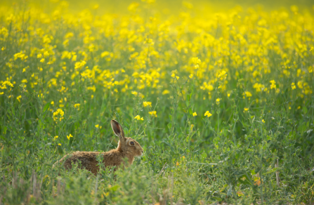 Hare in oilseed rape field