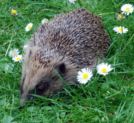 Help our Hedgehogs talk, South Downs Group
