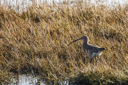 Curlew at Keyhaven Marshes