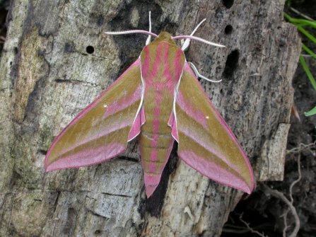 Elephant hawk moth at Blashford Lakes © Bob Chapman