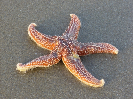 Common starfish © Lizzie Wilberforce