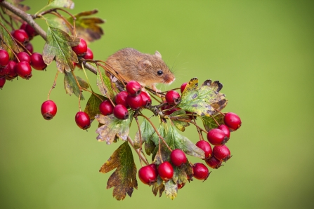 Harvest mouse © Mike Read