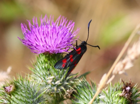 six-spot-burnet by Bob Chapman