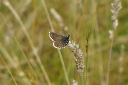 Brown argus in our camp area