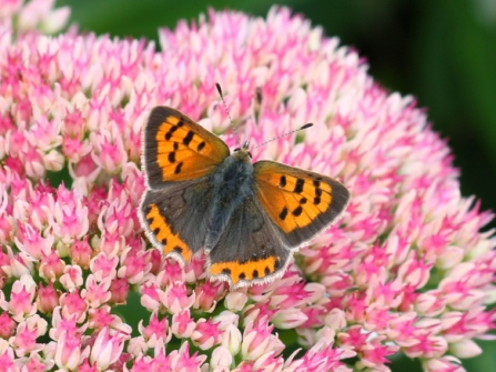 Small copper on Sedum - Bob Chapman